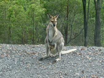 澳洲-袋鼠