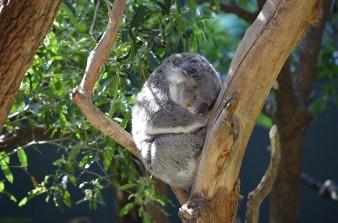 澳洲-無尾熊